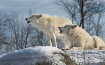 the sky, trees, snow, nature, stones, winter, branches, white, pair, wolves, howl, polar, arctic wolf, arctic