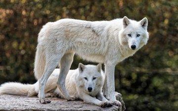 морда, природа, фон, взгляд, белый, профиль, камень, пара, два, волки, боке, полярный, арктический волк