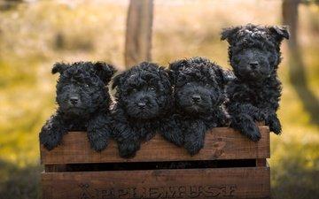 глаза, природа, фон, щенки, собаки, мордочки, ящик, терьеры, черный терьер