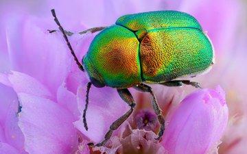 жук, макро, насекомое, цветок, лепестки, панцирь