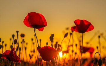 цветы, природа, закат, поле, лепестки, красные, маки, луг, стебли