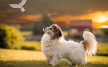 sunset, field, dog, house, puppy, bird, dove, sunny, papillon