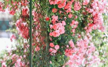 цветы, розы, забор, сад, сетка, куст, jane ha