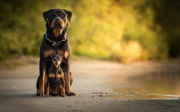 собака, собаки, боке, ротвейлер, карликовый пинчер