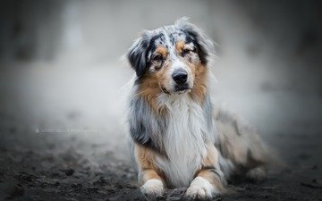 eyes, look, dog, australian shepherd, aussie