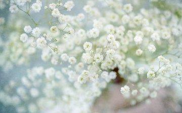 цветы, белые цветы, гипсофила