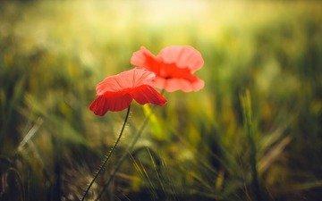 цветы, трава, красные, маки