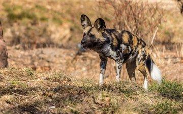 хищник, гиена, гиеновидная собака
