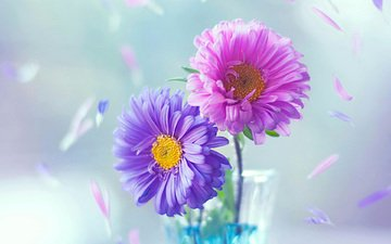 цветы, лепестки, ваза, астра