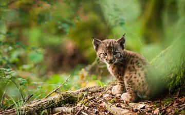 nature, lynx, muzzle, look, cub, a small lynx