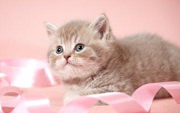 кот, мордочка, усы, кошка, взгляд, котенок, лента, британская короткошерстная