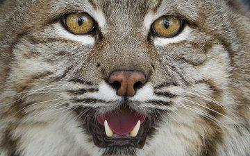 глаза, морда, рысь, взгляд, клыки, хищник, большая кошка, steve bowen