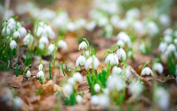 цветы, листья, весна, белые, подснежники