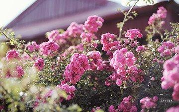 цветы, бутоны, листья, розы, лепестки, куст