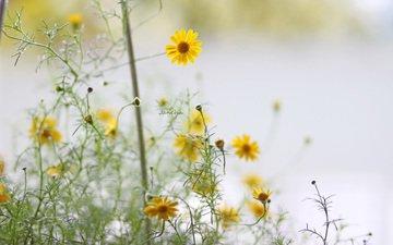 цветы, лепестки, стебли, желтые, боке