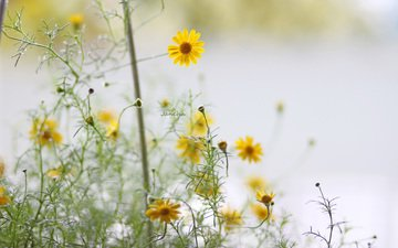 flowers, petals, stems, yellow, bokeh