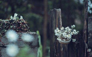 цветы, ромашки, jane