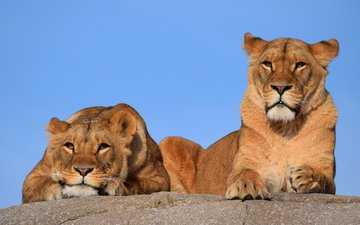 eyes, the sky, look, predator, big cat, lions, lioness, lizy
