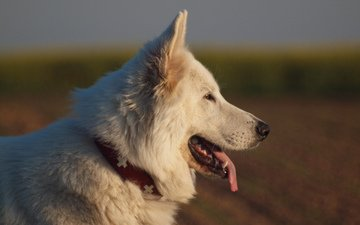 собака, профиль, язык, белая швейцарская овчарка