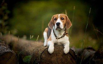 muzzle, look, dog, beagle