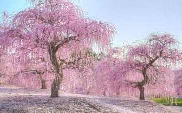 деревья, природа, цветение, весна, сакура, nogata hiroshi