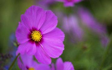 цветок, лепестки, размытость, розовый, космея