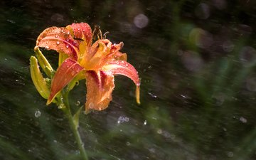 цветок, капли, лепестки, лилия, дождь, боке