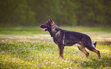 собака, профиль, язык, полевые цветы, немецкая овчарка