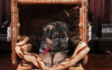 dog, puppy, german shepherd