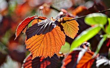 ветка, листья, макро, осень