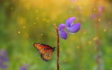 макро, насекомое, цветок, капли, бабочка, крылья