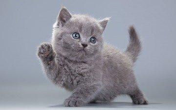 кот, мордочка, усы, кошка, взгляд, котенок, британская короткошерстная