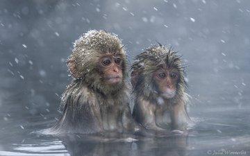 япония, макаки, обезьяны, мартышки, японский макак, снежные обезьяны