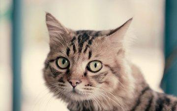 кот, мордочка, усы, кошка, взгляд, mr.zhang rui jun