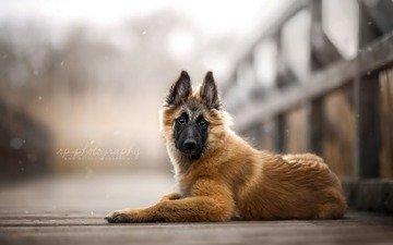 bridge, dog, puppy, belgian shepherd, tervuren