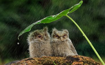 drops, sheet, birds, rain, stem, chicks, owls