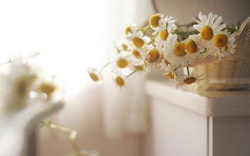 цветы, лепестки, размытость, ромашки, белые