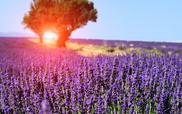 the sky, flowers, trees, the sun, nature, tree, field, lavender