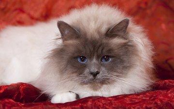 кот, мордочка, усы, кошка, взгляд, бирма