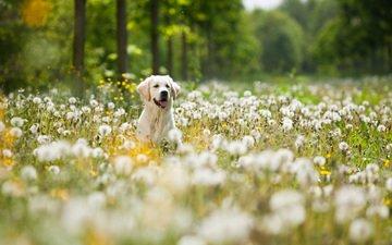 цветы, мордочка, собака, одуванчики, язык, лабрадор, ретривер