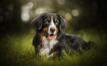 greens, dog, each, bernese mountain dog, ferdinand