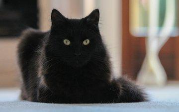 кот, мордочка, усы, кошка, взгляд, черный кот