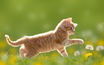 цветы, лето, кошка, котенок, игра, одуванчик, лапки, позитив