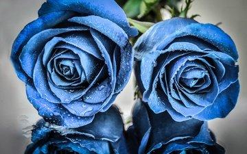 цветы, отражение, розы, капли воды, голубые цветы