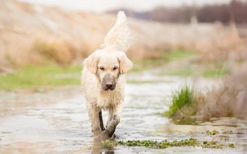 dirt, muzzle, look, dog, puppy, puddle, golden retriever