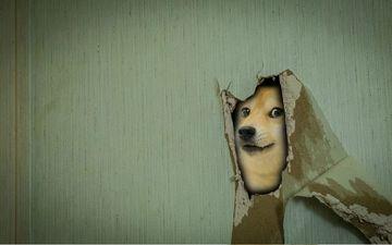 мордочка, взгляд, стена, собака, дырка, сиба-ину