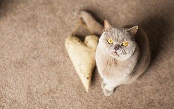 кот, мордочка, усы, сердечко, кошка, взгляд, желтые глаза, британская короткошерстная