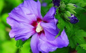 цветы, бутоны, листья, макро, лепестки, гибискус