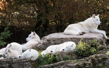 trees, nature, stones, group, sleep, white, stay, wolves, pack, zoo, arctic wolf, arctic