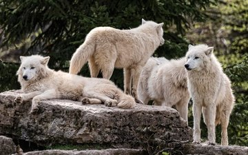nature, stones, group, branches, white, spruce, stay, wolves, pack, zoo, arctic wolf